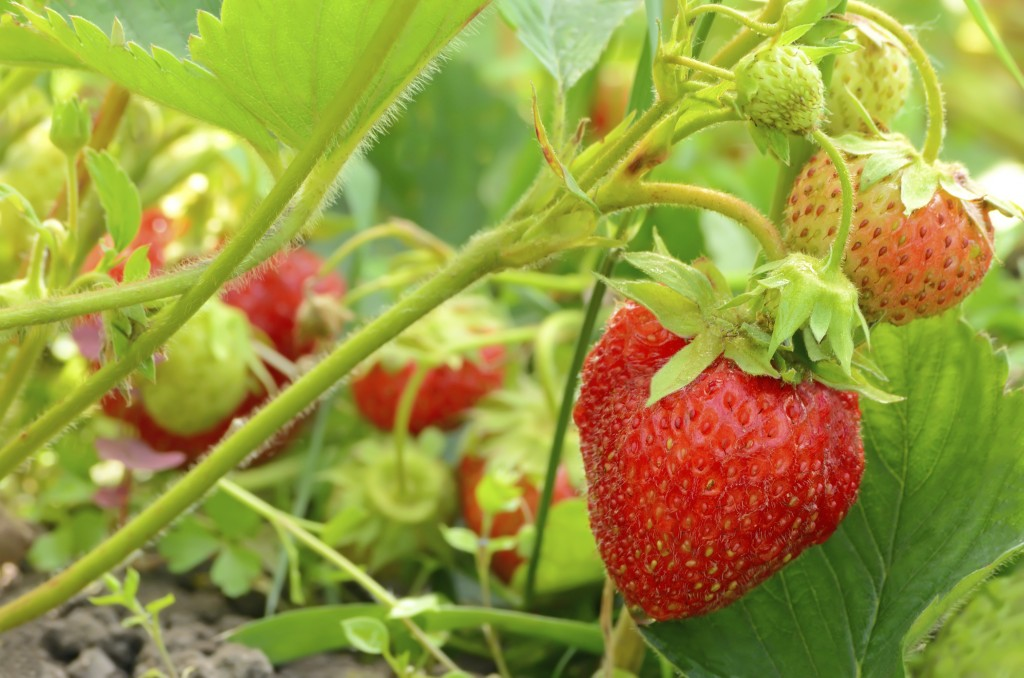 Strawberry Gutters Forever