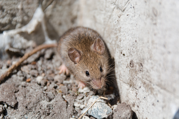 How Gutter Guards Can Prevent Rat And Mouse Trouble Around